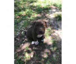 AKC registerable American bull dog Female puppy