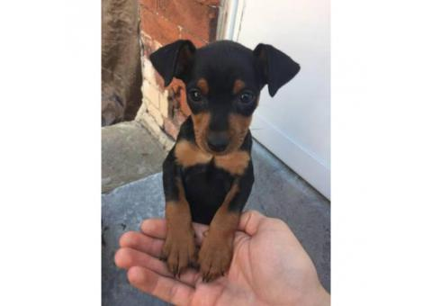Miniature Pinscher Puppy Needs A Home