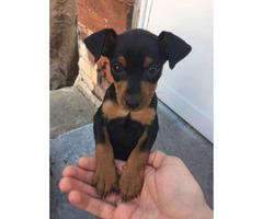 Miniature Pinscher Puppy Needs A Home