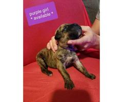 3 mastiff puppies still available