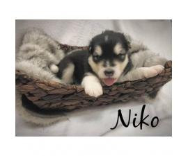 5 Alaskan Malamute puppies looking for new homes