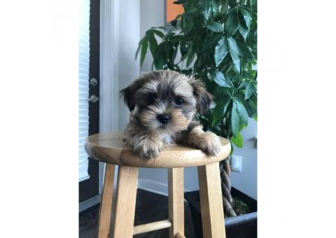 3 Months Old Shorkie Puppy In Eau Claire Wisconsin