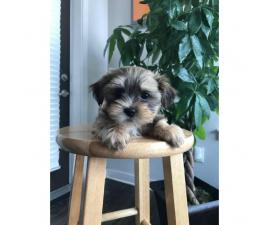 Yorkie Shitzu pups for sale - $650