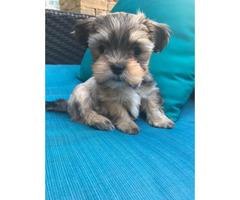 Yorkie Shitzu pups for sale - $650