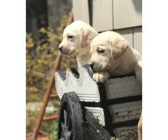 Beautiful Lab Puppies! AKC/OFA Champion Bloodlines