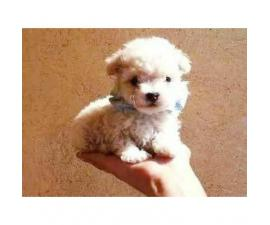 Very lovable and sweet Mini toy poodles