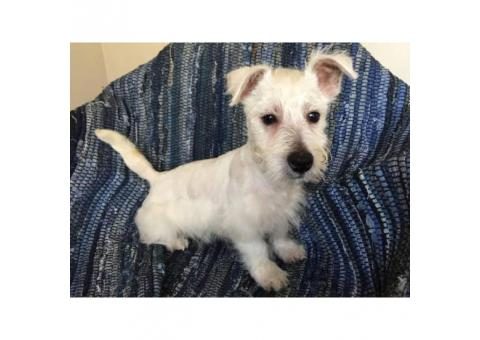west highland terrier for sale near me 4 weeks old west highland white terrier puppies in honokaa 3050
