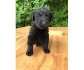 2 black female Akc registered lab puppies available for deposit