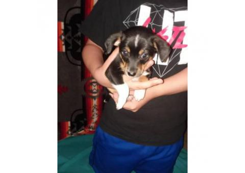 chiweenie puppies for sale - 7 weeks old
