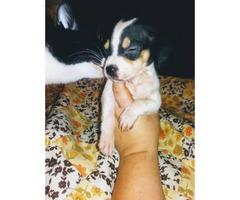 Cheagle pups for sale