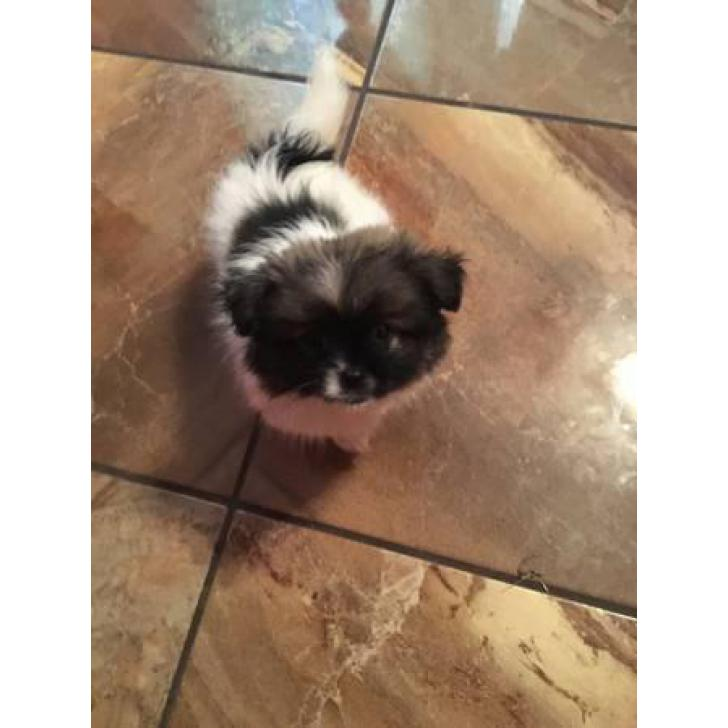 Adorable Pekingese Pom Mixed Puppies For Sale in Austin ...