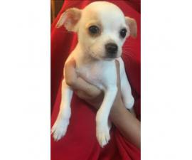 2 adorable Female Chihuahua puppies 8 weeks old