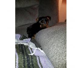 Male & Female Ckc registered yorkie puppies for sale