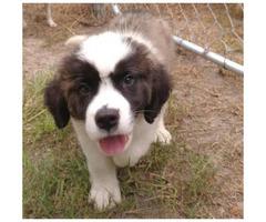 Great champion bloodlines Saint Bernard puppies