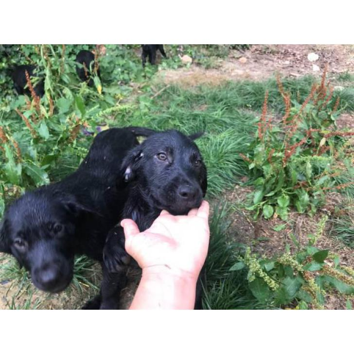 10 week old black lab puppies available in West Virginia USA