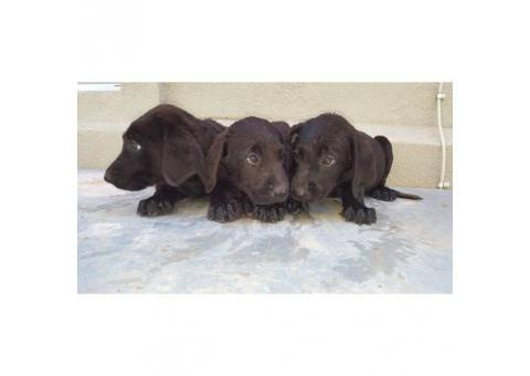 Litter of all black and registered lab puppies