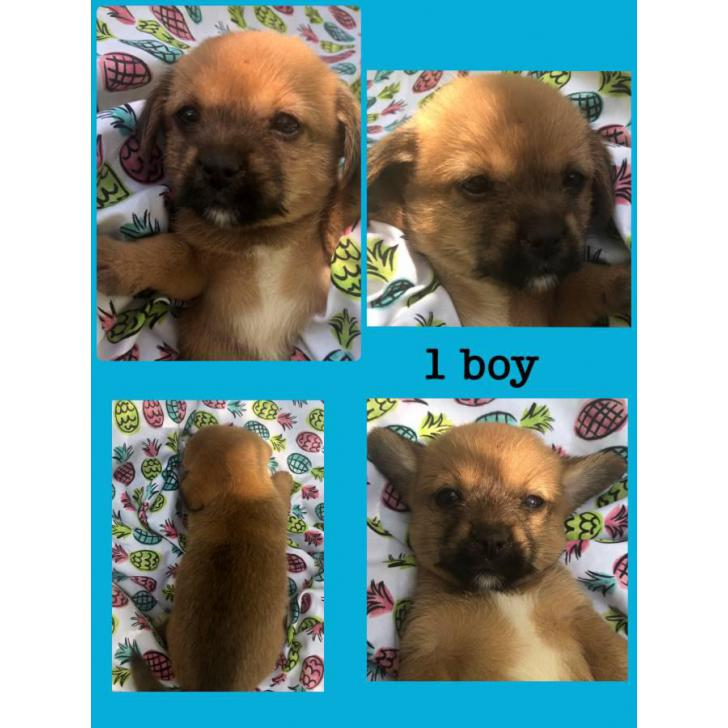 Chihuahua X Lhasa Apso Puppies Sale In Columbus Ohio Puppies For