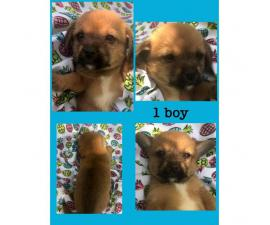chihuahua x lhasa apso puppies sale