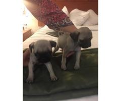 10 Weeks Old Pug Puppies M/F