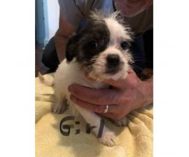 8 weeks old Shih tzu chihuahua mix (Shichi) breed