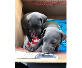 2 Blue Weimaraner Puppies