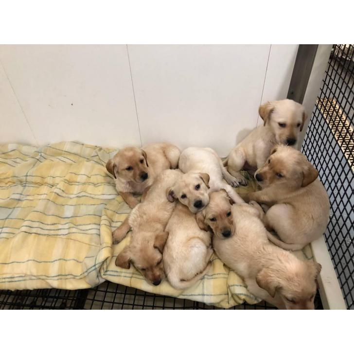 8 Yellow Lab Puppies For Sale In Sioux Falls South Dakota