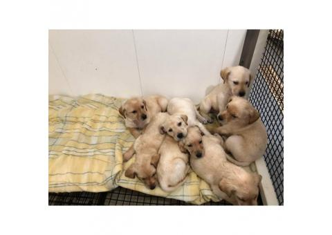 8 yellow lab puppies for sale