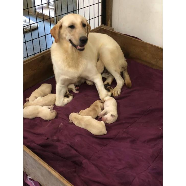 For Sale By Owner Colorado >> 8 yellow lab puppies for sale in Sioux Falls, South Dakota - Puppies for Sale Near Me
