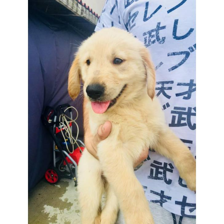 4 AKC Golden Retriever Puppies available in Orlando