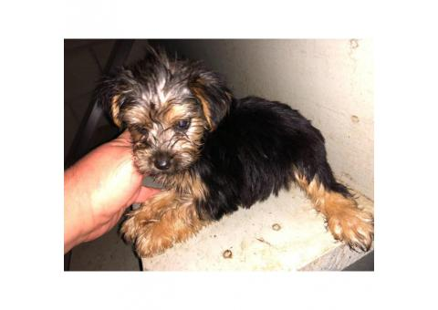 5 Toy Yorkie puppies for sale