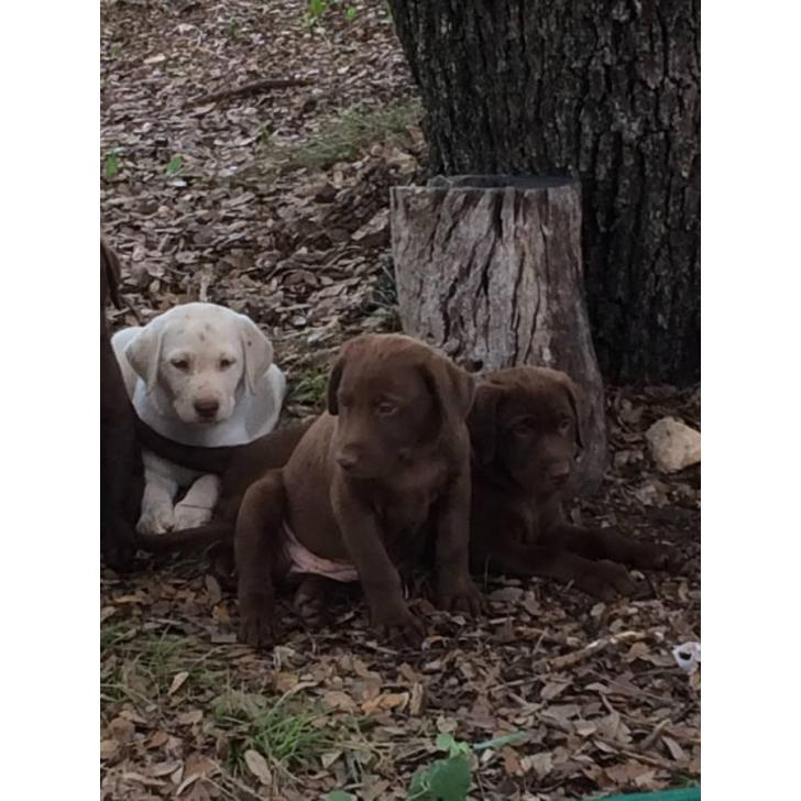6 Akc Lab Puppies For Sale In Austin Texas Puppies For Sale Near Me