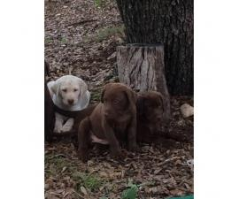 6 AKC LAB PUPPIES FOR SALE