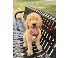 F1b Goldendoodle Male Puppy