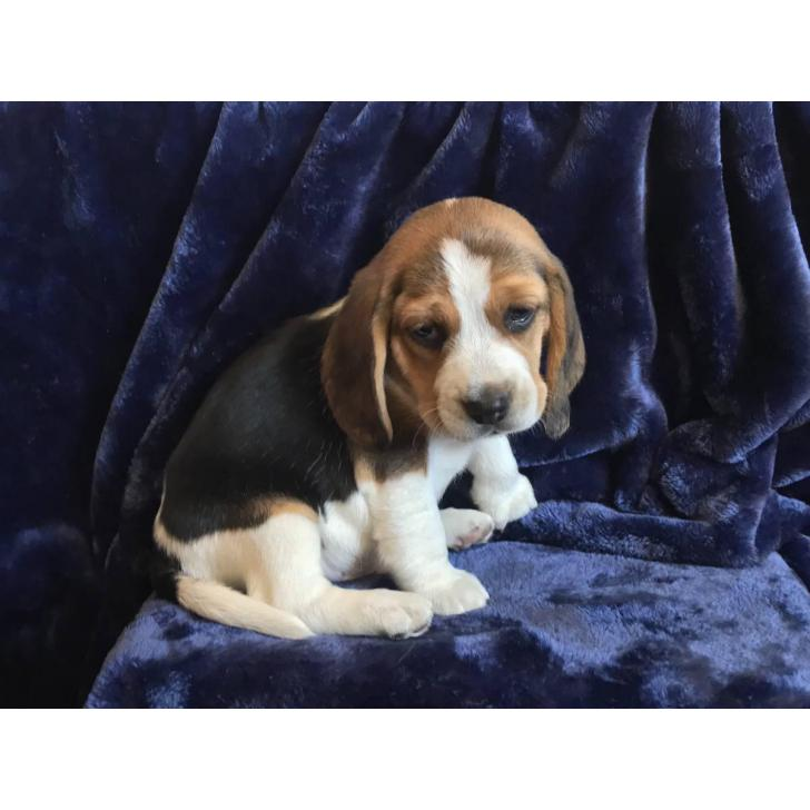 5 Pure Bred Beagle Puppies In San Diego California
