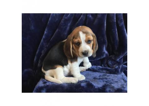 5 pure bred beagle puppies