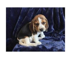 5 pure bred beagle puppies