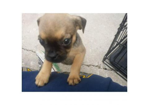 Male puppies Pugs for sale