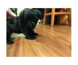 2 Yorkiepoo Puppies for Sale