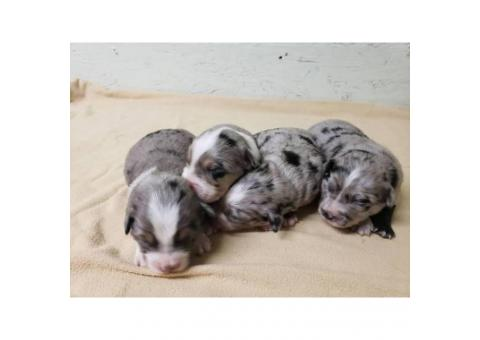 Australian Shepherd puppies for adoption.