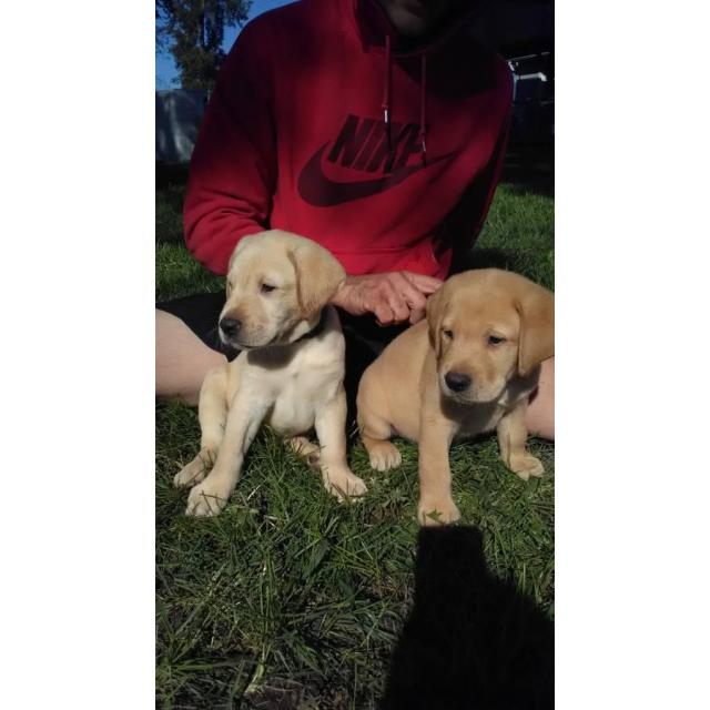 6 yellow lab puppies - 2 months old in Indiana USA