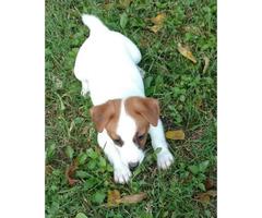 Females Shorties Jack Russell Terrier Puppies