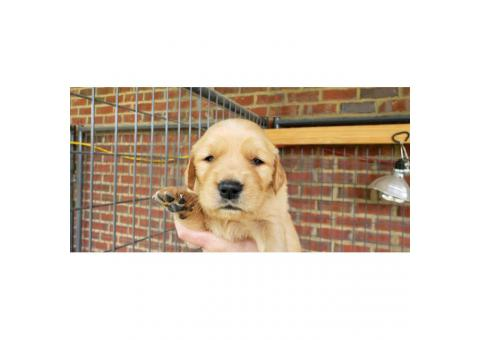 4 males AKC Golden Retriever puppies for sale