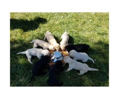 9 Beautiful purebred labrador puppies