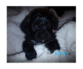 AKC poodle shih tzu mixed with hypoallergenic coats