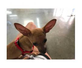 Sweet Chihuahua Puppy for adoption  3 lbs