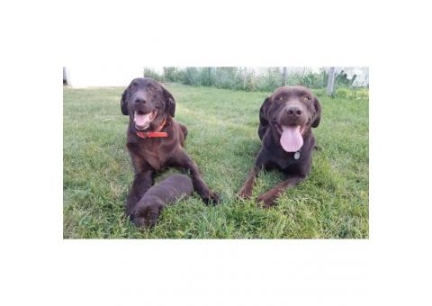 AKC Chocolate Labrador Puppies for adoption