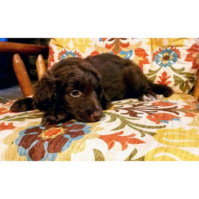3 bordoodle puppies available in Boise , Idaho - Puppies for