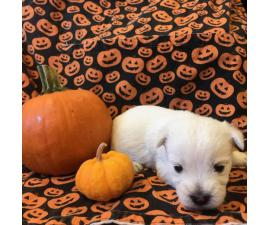 West Highland terrier puppies 6 available