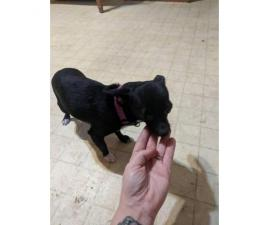 Chiweenie pups looking for home