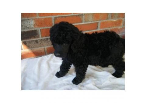 AKC 9 week old Standard Male Poodle